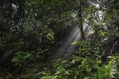 阳光光芒通过在雨林的叶子倾吐在Sinharaja F 库存图片
