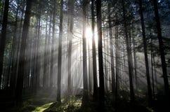 阳光光芒通过森林 免版税库存图片
