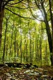 阳光和森林 免版税库存照片