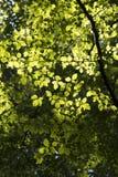 阳光和角树叶子 免版税库存图片