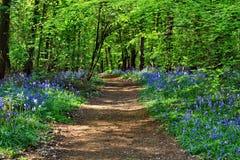 阳光土道路穿过非scripta Badby会开蓝色钟形花的草木的Hyacinthoides 库存图片