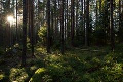 阳光在一个豪华和嫩绿的森林里在夏天 免版税库存图片