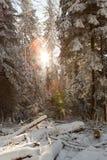 阳光在晴朗的冬天多雪的森林里 库存图片