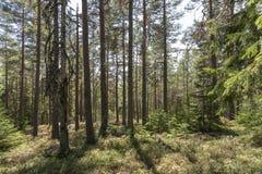阳光在杉木森林里在瑞典 免版税库存照片
