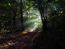阳光在森林里 库存图片