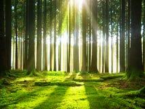阳光在森林里 库存照片