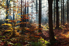 阳光在秋天森林里 库存图片