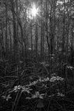 阳光在美洲红树森林里 免版税库存图片