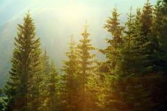 阳光在雾的云杉的森林里在山背景  免版税图库摄影