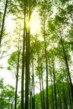 阳光在绿色杉木森林里,春天 温暖的太阳在前面 图库摄影