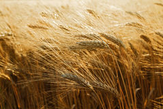 阳光大麦领域 免版税库存照片