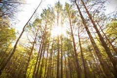 阳光射线通过树倾吐在森林里 图库摄影