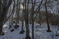 阳光山毛榉或山毛榉森林冬时的在Vitosha山 免版税库存图片