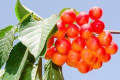阳光束更加多雨的白色樱桃莓果 免版税库存照片