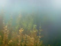 阳光水下的淡水植物群河,湖,池塘 Surfac 图库摄影