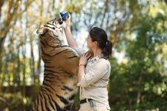 阳光海岸,昆士兰,澳大利亚- 2014年9月17日, :在澳大利亚动物园的大孟加拉老虎在它的化合物里面 库存照片