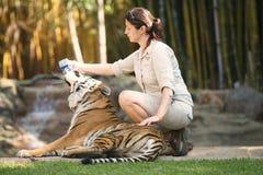 阳光海岸,昆士兰,澳大利亚- 2014年9月17日, :在澳大利亚动物园的大孟加拉老虎在它的化合物里面 免版税库存图片
