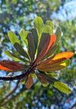 阳光点燃的山龙眼叶子 免版税库存照片