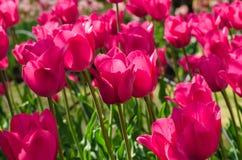 阳光点燃的桃红色花郁金香 免版税库存照片