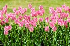 阳光点燃的桃红色花郁金香 库存图片