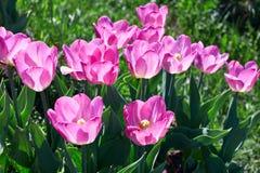 阳光点燃的美丽的桃红色花郁金香 软的选择聚焦 关闭 免版税库存照片
