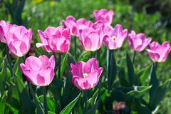阳光点燃的美丽的桃红色花郁金香 软的选择聚焦 关闭 免版税库存图片