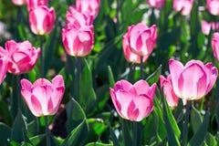 阳光点燃的美丽的桃红色花郁金香 软的选择聚焦 关闭 库存图片