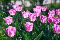 阳光点燃的美丽的桃红色花郁金香 软的选择聚焦 关闭 免版税图库摄影