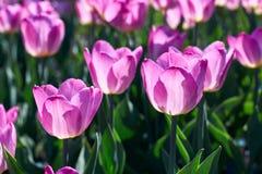 阳光点燃的美丽的桃红色花郁金香 软的选择聚焦 库存图片