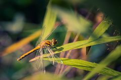 阳光点燃的蜻蜓坐草在池塘附近 免版税库存图片