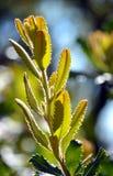 阳光点燃的年轻山龙眼叶子 库存照片