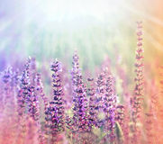 阳光照亮的草甸(紫色)花 免版税库存照片