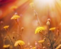 阳光照亮的蒲公英 库存图片
