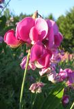 洒满阳光的桃红色香豌豆花在草甸 库存照片