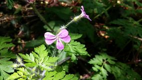 阳光美妙地照亮的大竺葵robertianum在遮荫森林里 库存图片