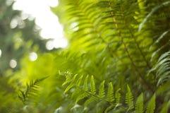 阳光通过卷曲新的蕨 库存图片