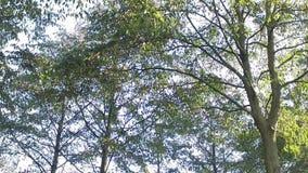 阳光通过叶子,五颜六色的树和鸟唧啾叫 股票录像