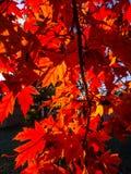 阳光通过明亮的红槭叶子 免版税库存照片