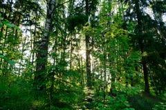 阳光通过树在森林里 图库摄影