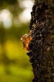 阳光通过树树汁一滴  库存照片