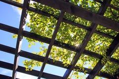 阳光通过格子框架和藤 库存图片