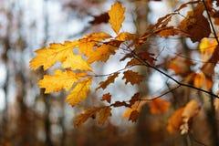 阳光通过橡树叶子 免版税库存图片