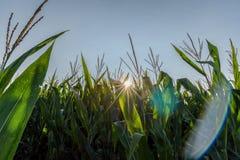阳光通过玉米茎 免版税库存照片