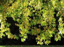 阳光通过秋天槭树叶子 免版税库存图片