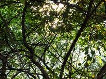阳光通过老洋梨树叶子  免版税库存照片