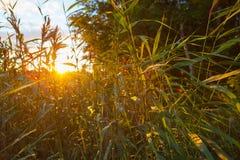 阳光通过芦苇 库存照片