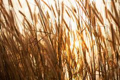 阳光通过草 免版税库存照片