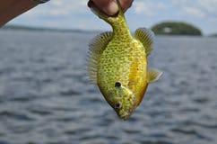 阳光鱼 图库摄影