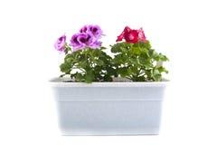 阳台罐的天竺葵在白色背景的 库存照片