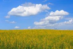 阳大麻黄色花田、云彩背景和蓝天 免版税图库摄影